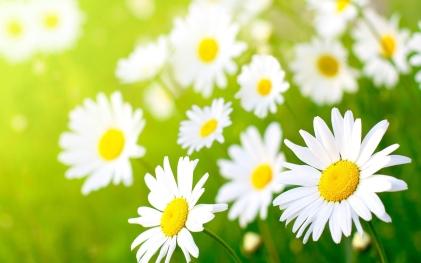 chamomiles-flowers